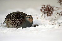 Gray Partridge (Perdix perdix) in snow   Photo: Peter Llewellyn