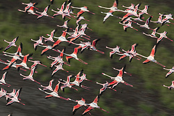 "Pretty in Pink <br /> <br /> Photographer and guide Paul Goldstein has spent thirty years showing people the Rift Valley in Kenya from ground level, for want of a change he has taken to the skies. <br /> <br /> The Wimbledon-based guide for Exodus Travels says: ""Lake Magadi in Kenya is one of the less fabled Rift Lakes lacking the box office of Bogoria or Nakuru, but it is just as rewarding. Greater and Lesser flamingos flourish in these alkaline rich soda lakes and only a few miles of game-rich valley floor separates Magadi from the Northern tip of Lake Natron. <br /> <br /> ""Ever since I saw Denys Finch Hatton fly across these lakes in Out of Africa, I have been mesmerised by the vast shimmering flocks of these birds, aware how parlous their existence is. Too much rain destroys the alkaline content of the soda lakes and can irrevocably alter their diet and breeding patterns. <br /> <br /> ""A sunrise flight is both dramatic and literally uplifting as the long shadows from the early sun gild the pink and red birds. However, it is late afternoon when the Lake really excels, as the wind meticulously sculpts the soda patterns into intricate and indeed beautiful patterns. <br /> <br /> ""On this day there were plenty on show and the bird's eye view down a long lens was utterly captivating."" <br /> Paul has run fifteen marathons in a tiger suit for charity. This year (2020) he will run the London marathon AND run the Mount Everest marathon wearing the tiger suit for the 'Worth More Alive X' tiger preservation charity.<br /> <br /> Where: Rift Valley, Kenya<br /> When: 21 Jan 2020<br /> Credit: Paul Goldstein/Cover Images"
