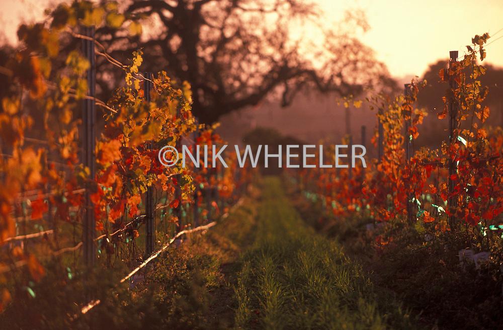 Autumn vineyards in the Santa Ynez Valley in Santa Barbara County, California, USA