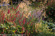 Autumn border with Persicaria affinis 'Superba' RHS, Stipa gigantea, Perovskia 'Blue Spire' and Verbena bonariensis - September