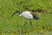 Sacred ibis (Threskiornis aethiopicus) foraging for food. The sacred ibis is a carnivorous bird that probes for small animals in wetlands, grassland and fields. It also eats offal or carrion and sometimes feeds in rubbish dumps. The sacred ibis is native to sub-Saharan Africa but colonies have been established elsewhere