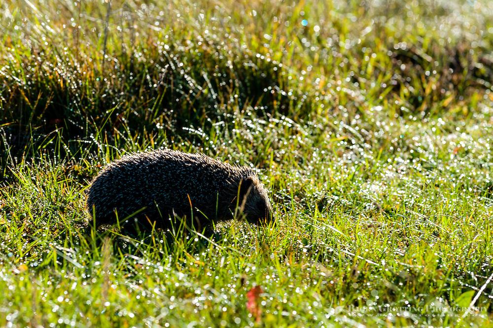 Norway, Klepp. Hedgehog.