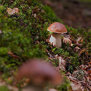 Penny Bun Mushroom in wood scenery. One mushroom out of focus in the front.