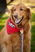 An adult Golden retriever proudly wears her red neckerchief.