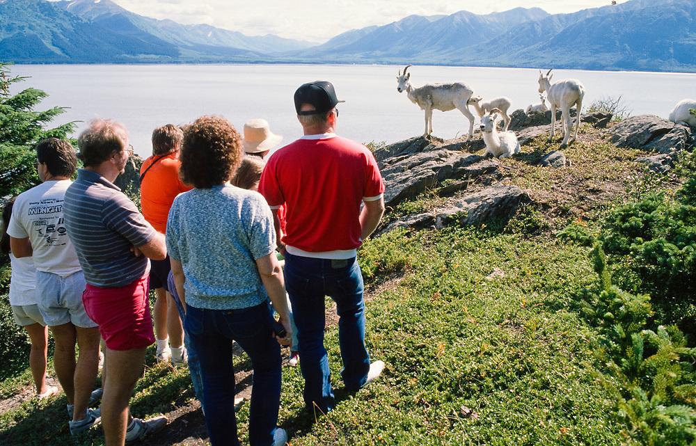 Alaska. Turnagain Arm. Tourists crowd around herd of Dall Sheep (Ovis dalli)along ridge.