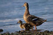 Mallard female duck and Duckling, Anas platyrhynchos,  River Slaney, Wexford, Ireland