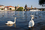 Swans swim in the Vltava River near and Charles Bridge, Prague old town, Czech Republic.