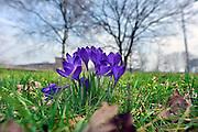 Nederland, 9-3-2013De eerste krokussen komen boven de grond, een voorbode, teken van lente.Foto: Flip Franssen/Hollandse Hoogte