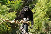 Lar Gibbon (Hylobates lar), also known as the White-handed Gibbon..