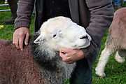 Hill farmer showing his Herdwick sheep at the 150th Eskdale Show in Cumbria on 29 September 2018. Herdwick sheep are the native breed of the central and western Lake District and live on the highest of England's mountains. They are extremely hardy and are managed in the traditional way on the Lake District fells that have been their home for generations.