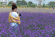 local tourists in a field of lavender colored flowers in Dali, Yunnan, China
