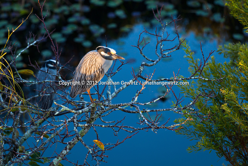 Yellow-crowned Night Herons (Nyctanassa violacea) perched in a tree over a pond in the Shark Valley section of Everglades Natinal Park, Florida. WATERMARKS WILL NOT APPEAR ON PRINTS OR LICENSED IMAGES.
