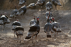 Wild turkeys (Meleagris gallopavo) walking away, Ladder Ranch, west of Truth or Consequences, New Mexico, USA.