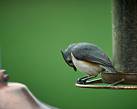 Tufted Titmouse. Image taken with a Nikon D5 camera and 600 mm f/4 VR telephoto lens.