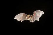 A Western small-footed bat (Myotis ciliolabrum) flying at night. Sulphur Springs, high desert Washington.