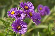 Vernon, New Jersey - Wildflowers along the  Appalachian Trail south of  Wawayanda Mountain oon Sept. 22, 2012.