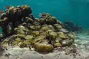 Bluestriped Grunt (Haemulon sciurus)<br /> Hol Chan Marine Reserve<br /> near Ambergris Caye and Caye Caulker<br /> Belize<br /> Central America