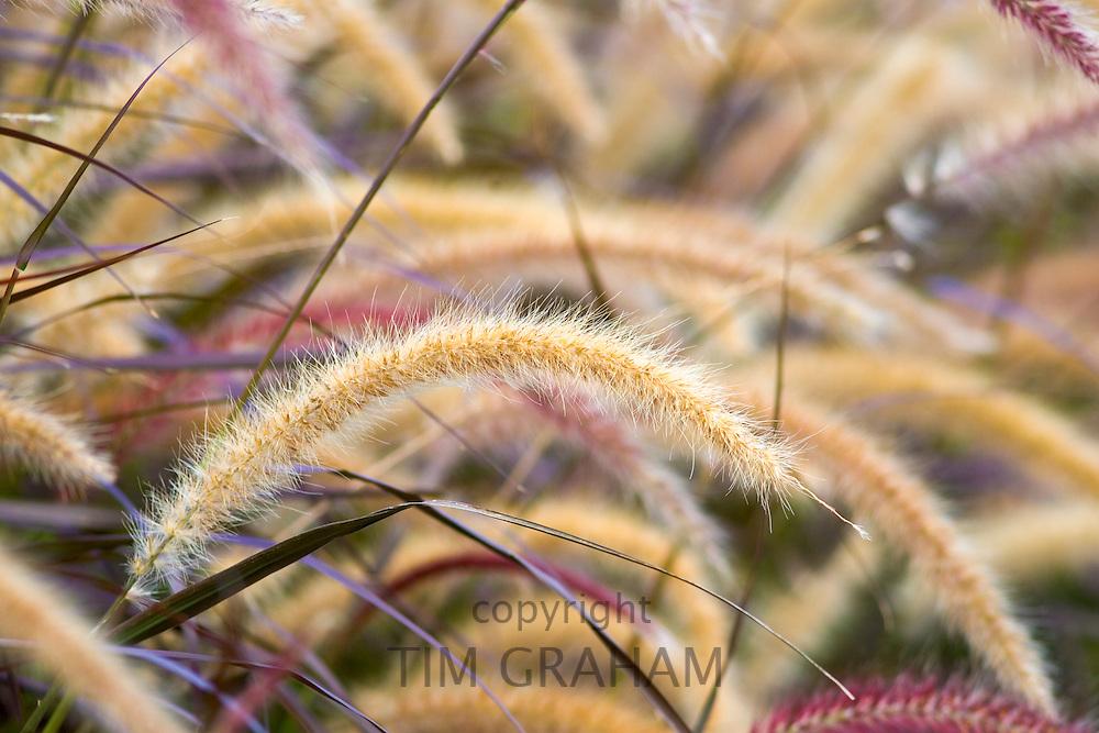 Fountain Grasses growing in the Royal Botanical Gardens, Sydney, Australia