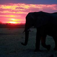 Africa, Botswana, Savute. Elephant and sertting sun at Chobe National Park.
