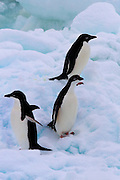 Adelie Penguin - Pygoscelis adeliae - in the Southern Ocean, Antarctica. In 1830, French explorer Dumont d'Urville named them for his wife, Adélie.
