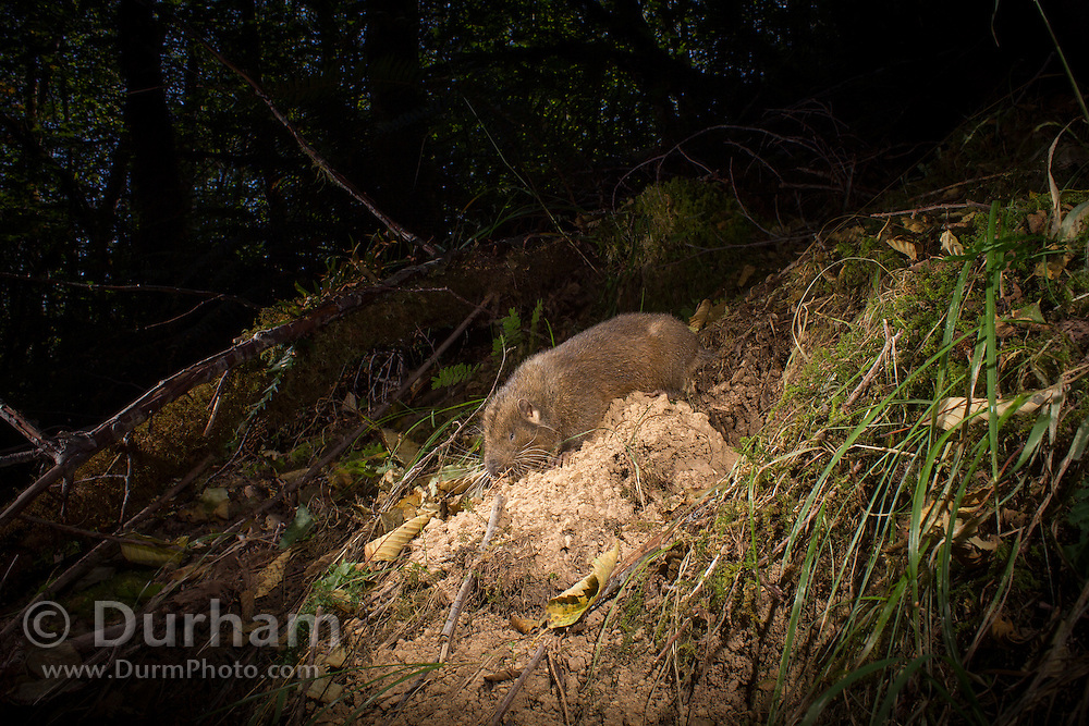 A mountain beaver (Aplodontia rufa) emerges from its burrow in the coastal forest of Oregon.