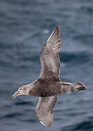 Southern Giant Petrel flying above the Drake Passage, as it nears the Antarctic Peninsula