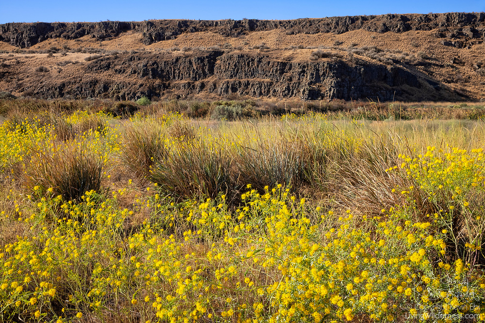 A field of flowering goldenrods color the valley below a towering basalt cliff in the Columbia National Wildlife Refuge in Adams County, Washington.