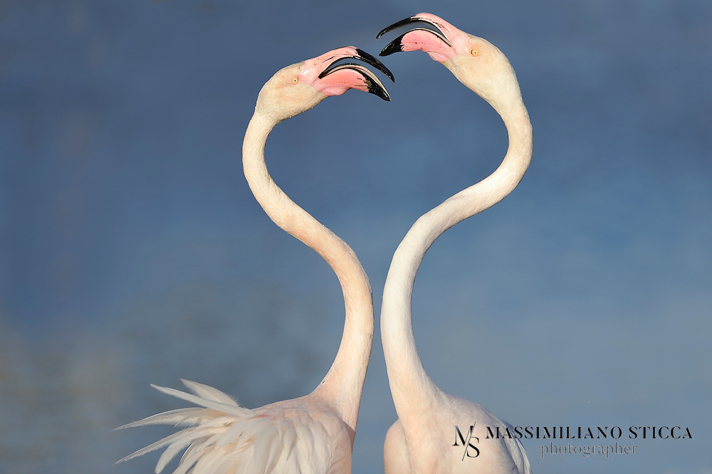 Two Greater Flamingo (Phoenicopterus roseus) fighting for love, Camargue (France)<br /> <br /> The Greater Flamingo (Phoenicopterus roseus) is the most widespread species of the flamingo family. It is found in parts of Africa, southern Asia (coastal regions of Pakistan and India), and southern Europe (including Spain, Albania, Turkey, Greece, Cyprus, Portugal, Italy and the Camargue region of France). Some populations are short distance migrants, and sightings north of the breeding range are relatively frequent; however, given the species' popularity in captivity, whether or not these are truly wild individuals is a matter of some debate. A single bird was seen on North Keeling Island (Cocos (Keeling) Islands) in 1988. The Greater Flamingo is the state bird of Gujarat, India.