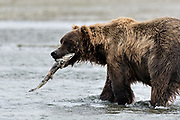 A grizzly bear boar catches a chum salmon in the lower lagoon at the McNeil River State Game Sanctuary on the Kenai Peninsula, Alaska. The remote site is accessed only with a special permit and is the world's largest seasonal population of brown bears.