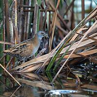 Baillon's crake (Zapornia pusilla), also known as the marsh crake, is a small waterbird of the family Rallidae.