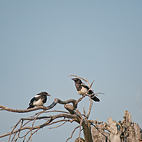 Black-Billed Magpies (Pica hudsonia) perch on dead tree branches in Montan's Gallatin Valley, near Bozeman.