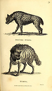 Hyaena from General zoology, or, Systematic natural history Part I, by Shaw, George, 1751-1813; Stephens, James Francis, 1792-1853; Heath, Charles, 1785-1848, engraver; Griffith, Mrs., engraver; Chappelow. Copperplate Printed in London in 1800. Probably the artists never saw a live specimen