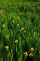 Yellow iris, Lirio amarillo (Iris pseudacorus) Scotland, UK