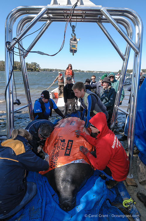 Manatee Health Assessments, Kings Bay, Crystal River, Citrus County, Florida USA. October 30, 2012 pm. Researchers from several federal and state agencies work together to gather data during the manatee capture and health assessments. A manatee is covered with a thermal blanket to keep its body temperature up on a cooler day. It is under an arch used for hoisting and weighing and it is only kept out of the water for a safe, pre-determined amount of time during data and sample acquisition.