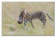 Mother serval cat carrying her cub through the long grass of the savanna in Maasai Mara, Kenya. Nikon D850, 200-400mm @ 400mm, f4, 1/2500 sec, ISO500, Aperture priority