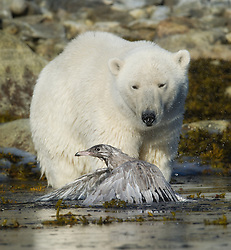 Polar bear attacking Glaucous Gull on Svalbard