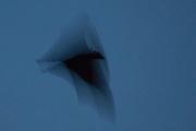 Portrait of the flight of the fruit bat in motion, Pine Creek, Northern Territory, Australia.