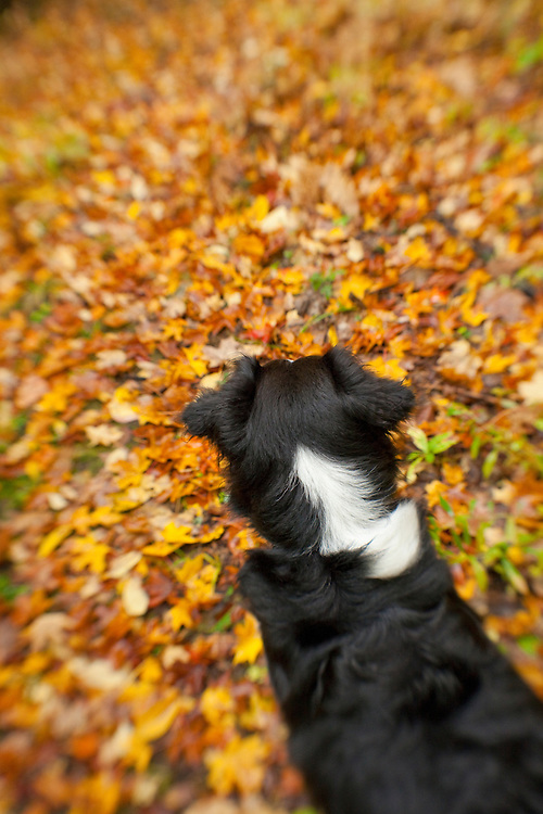 Aussie from behind in the fall leaves