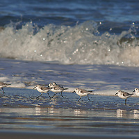 Sanderlings (Calidris alba) race in front of waves to catch small crustaceans & other food washed onto a beach near Pescadero, California.