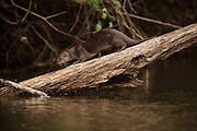 Neotropical Otter or Neotropical River Otter (Lontra longicaudis)<br /> Rainforest<br /> Rewa River<br /> GUYANA. South America<br /> RANGE: Central & South America & Trinidad<br /> IUCN: ENDANGERED SPECIES<br /> CITES 1