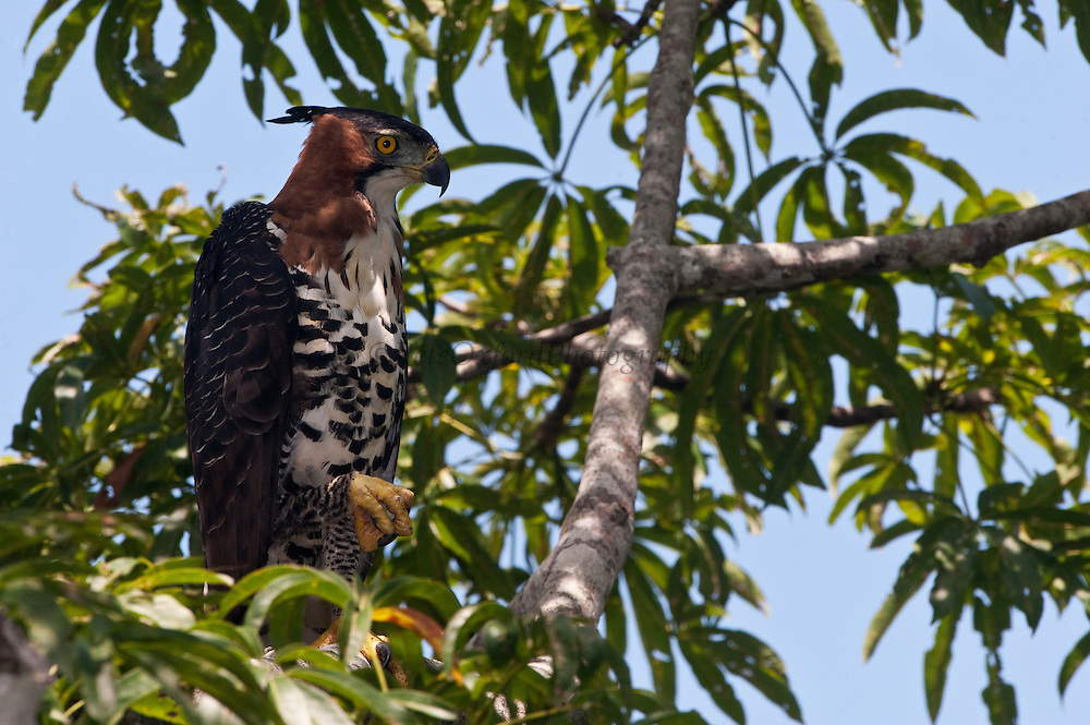 Ornate Hawk-eagle (Spizaetus ornatus) Adult<br /> Surama<br /> Rainforest<br /> GUYANA. South America<br /> RANGE: Southern Mexico and the Yucatán Peninsula, to Trinidad and Tobago, south to Peru and Argentina.