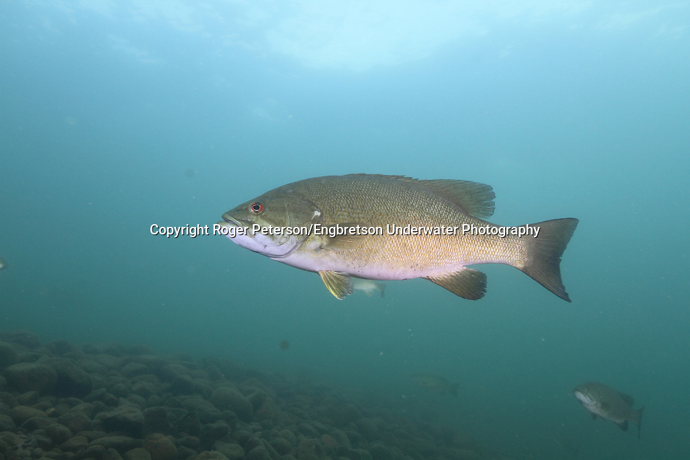 Smallmouth Bass<br /> <br /> Roger Peterson/Engbretson Underwater Photography