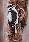 Artistic variation of a male Downey woodpecker on a tree trunk during the dead of winter.