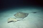 courting pair of southern stingrays, Hypanus americanus, formerly Dasyatis americana, Bahamas ( Western Atlantic Ocean )