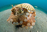 A Coconut Octopus (Amphioctopus marginatus), a species that gathers coconut and mollusc shells for shelter, Lembeh Strait, Sulawesi, Indonesia