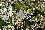 Cherry Blossom Tree, England