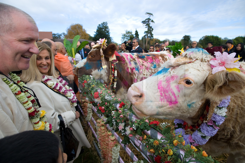"""© under license to London News pictures.  06/11/2010.A Hindu's look at painted cows during Celebrations for Diwali, the Hindu new year, at Gokul Centre for Cow Protection and Working Oxen in Aldenham near Watford, Hertfordshire today (Sat). The centre, which was originally donated by George Harrison, is unique in the western world producing """"Ahimsa Milk"""" at a cost of £3 per litre without harm to any living being. The Centre is part of Bhaktivedanta Manor, a Hindu place of worship."""