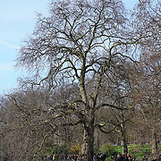 London, 13th March 2017, UK Weather: Spring sunshine blossom flowers at St James park in London,UK. by See Li