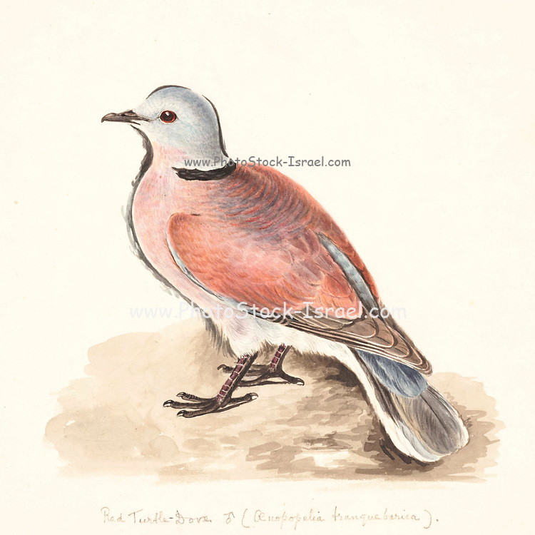 The red collared dove (Streptopelia tranquebarica), also known as the red turtle dove, is a small pigeon which is a resident breeding bird in the tropics of Asia. The male has a blue-grey head and a red-brown body. The female is much plainer, with pale brown plumage. 18th century watercolor painting by Elizabeth Gwillim. Lady Elizabeth Symonds Gwillim (21 April 1763 – 21 December 1807) was an artist married to Sir Henry Gwillim, Puisne Judge at the Madras high court until 1808. Lady Gwillim painted a series of about 200 watercolours of Indian birds. Produced about 20 years before John James Audubon, her work has been acclaimed for its accuracy and natural postures as they were drawn from observations of the birds in life. She also painted fishes and flowers. McGill University Library and Archives