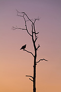 An Osprey (Pandion haliaetus) perches in a dead tree at dawn in Everglades National Park, Florida. WATERMARKS WILL NOT APPEAR ON PRINTS OR LICENSED IMAGES.